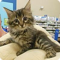 Adopt A Pet :: Bentley - Reston, VA