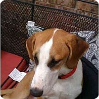 Adopt A Pet :: Ricky (Courtesy) - Indianapolis, IN