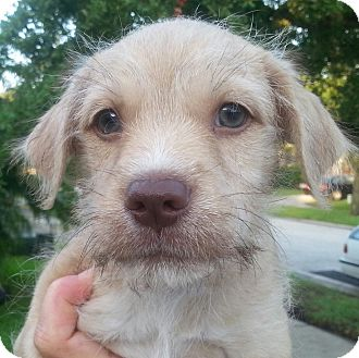Wheaten Terrier/Poodle (Miniature) Mix Puppy for adoption in Orlando, Florida - Mildred#4M