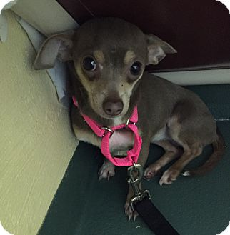 Chihuahua Mix Dog for adoption in Youngwood, Pennsylvania - Baby