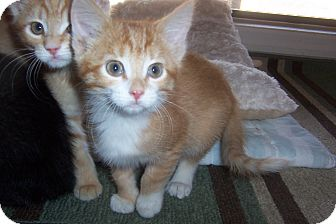 Domestic Shorthair Kitten for adoption in Pueblo West, Colorado - Carmela