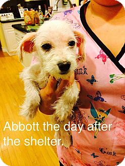 Poodle (Miniature)/Terrier (Unknown Type, Small) Mix Puppy for adoption in Las Vegas, Nevada - Abbott