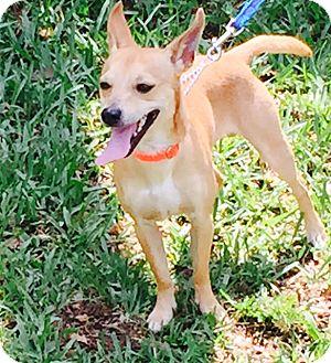 Chihuahua Mix Dog for adoption in Sarasota, Florida - Dublin