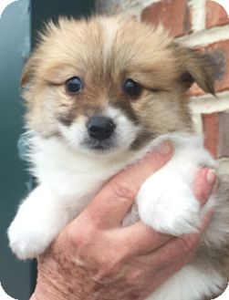 Shih Tzu Mix Puppy for adoption in Mount Pleasant, South Carolina - Dixie
