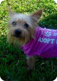 Yorkie, Yorkshire Terrier Mix Puppy for adoption in West Palm Beach, Florida - Lucy