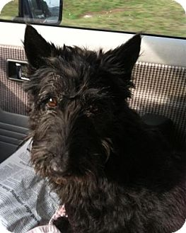 Scottie, Scottish Terrier Dog for adoption in Winder, Georgia - Fiona