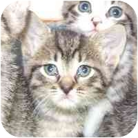 Domestic Shorthair Kitten for adoption in Coleraine, Minnesota - Tess