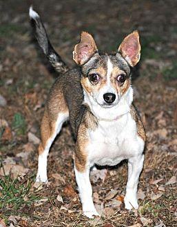 Rat Terrier/Corgi Mix Dog for adoption in Spring Lake, New Jersey - Stella