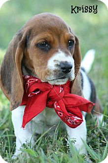 Basset Hound Puppy for adoption in Brattleboro, Vermont - Bassett Puppies