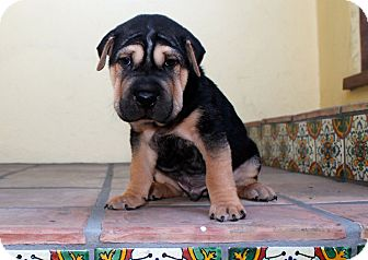 Shar Pei Mix Puppy for adoption in Los Angeles, California - Grumpy