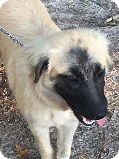 German Shepherd Dog Mix Dog for adoption in Henderson, North Carolina - Nikki
