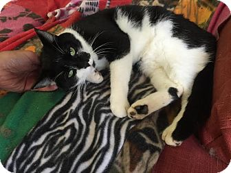 Domestic Shorthair Cat for adoption in Concord, North Carolina - Jimmy