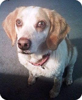 Beagle Mix Dog for adoption in Fredericksburg, Virginia - Char-lay