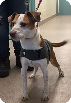 Jack Russell Terrier Mix Dog for adoption in shelton, Connecticut - Gideon