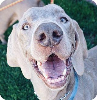 Weimaraner Dog for adoption in Sun Valley, California - EJ & Numi