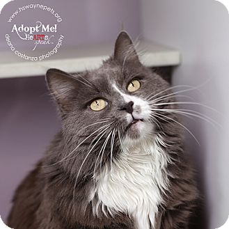 Domestic Mediumhair Cat for adoption in Lyons, New York - Lucy