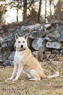 Labrador Retriever/Husky Mix Dog for adoption in Enfield, Connecticut - Bettie