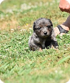 Australian Shepherd Mix Puppy for adoption in Groton, Massachusetts - Hemingway