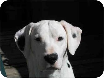 Dalmatian Dog for adoption in League City, Texas - Deke