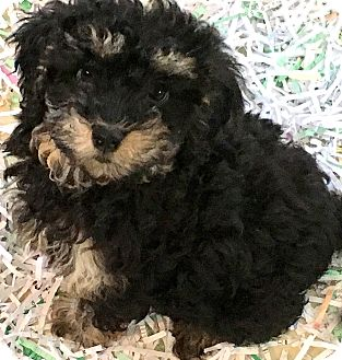 """Bichon Frise/Miniature Poodle Mix Puppy for adoption in Wakefield, Rhode Island - PRISSY(OUR """"BICH-POO""""!!"""