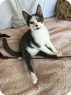 Domestic Shorthair Kitten for adoption in Akron, Ohio - Max- Pending Adoption
