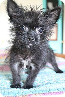 Schipperke/Yorkie, Yorkshire Terrier Mix Puppy for adoption in Allentown, Pennsylvania - Hogan