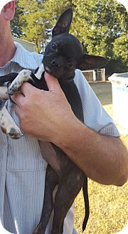 Boston Terrier/Chihuahua Mix Puppy for adoption in albany, New York - Betsy