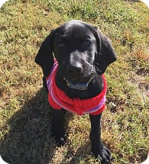 Labrador Retriever/Hound (Unknown Type) Mix Puppy for adoption in Westwood, New Jersey - Buford