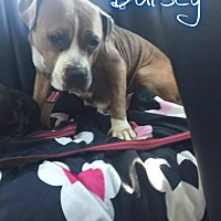 American Bulldog/Labrador Retriever Mix Dog for adoption in Eden, North Carolina - Daisey