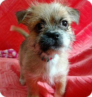 Shih Tzu Mix Puppy for adoption in Rochester Hills, Michigan - Willa