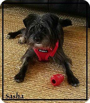 Cairn Terrier Mix Dog for adoption in Mount Mourne, North Carolina - Sasha