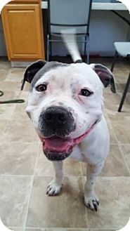 Terrier (Unknown Type, Medium)/American Pit Bull Terrier Mix Dog for adoption in Chico, California - Dorothy