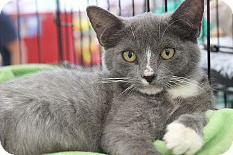 Domestic Shorthair Kitten for adoption in Wichita Falls, Texas - Cassie
