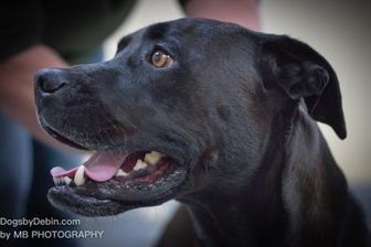 Boxer/Labrador Retriever Mix Dog for adoption in Kansas City, Missouri - Winston