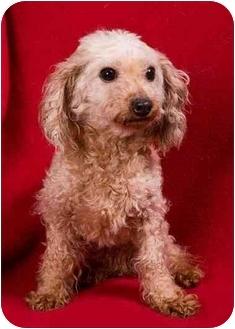 Poodle (Toy or Tea Cup) Dog for adoption in Anna, Illinois - BON BON