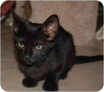 Domestic Shorthair Kitten for adoption in Cincinnati, Ohio - Hermes