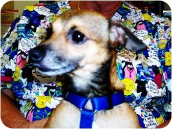 Chihuahua/Dachshund Mix Dog for adoption in Amelia  Island/Clearwater/Jacksonville, Florida - wiley