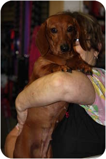 Dachshund Dog for adoption in Prince William County, Virginia - lizzy