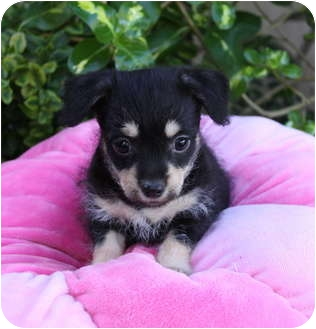 Terrier (Unknown Type, Small)/Poodle (Miniature) Mix Puppy for adoption in Newport Beach, California - FELICITY