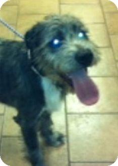 Irish Wolfhound Puppy for adoption in Oswego, Illinois - Clancy O'Drooley
