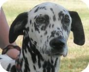 Dalmatian Dog for adoption in Turlock, California - Dixie
