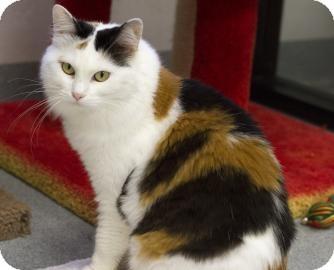 Japanese Bobtail Cat for adoption in Gainesville, Florida - Jasmine