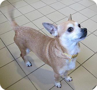 Chihuahua Dog for adoption in Jackson, Michigan - Riccardo