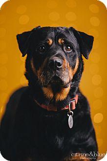 Rottweiler Dog for adoption in Portland, Oregon - Dawn