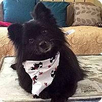 Adopt A Pet :: Bear - Hilliard, OH