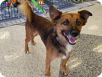 Terrier (Unknown Type, Small)/Shepherd (Unknown Type) Mix Dog for adoption in Phoenix, Arizona - Brownie