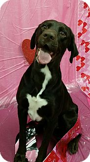 Pointer/Labrador Retriever Mix Dog for adoption in Savannah, Georgia - Delson