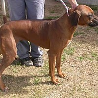 Rhodesian Ridgeback Dog for adoption in Seguin, Texas - Sweetie