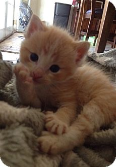Domestic Shorthair Kitten for adoption in Hollister, California - April Kitten Buddy 1 of 3