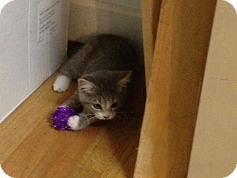 Domestic Shorthair Kitten for adoption in LaGrange, Kentucky - Smokey